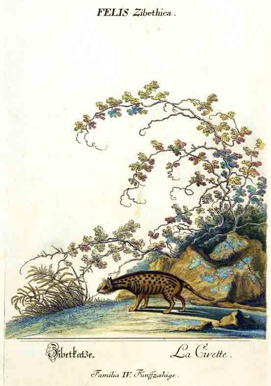 RIDINGER (M. E. & J. J. ) - Felis Zibethica./ Tibetkatze./ La Civette. Familia  IV Fünffzähige. Aus / From: RIDINGER (M. E. & J. J. ): Thierreich (Thierbuch), Augsburg, 1768. Original Handkolorierter Kupferstich auf Honig-Bütten. / Original handcoloured engraving / Gravure orig. col. à la main. Blatt 28x45 cm.